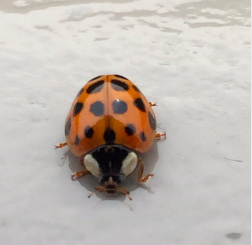 Seeing A Ton Of Ladybugs What Does It Mean Wdrb Weather Blog