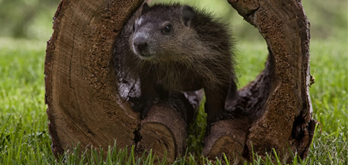 PHOTO-groundhog in log-iStock_527516865-020317-600x600-square